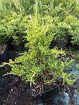 Можжевельник средний, Juniperus media 'Gold Star', 40 см., фото 4