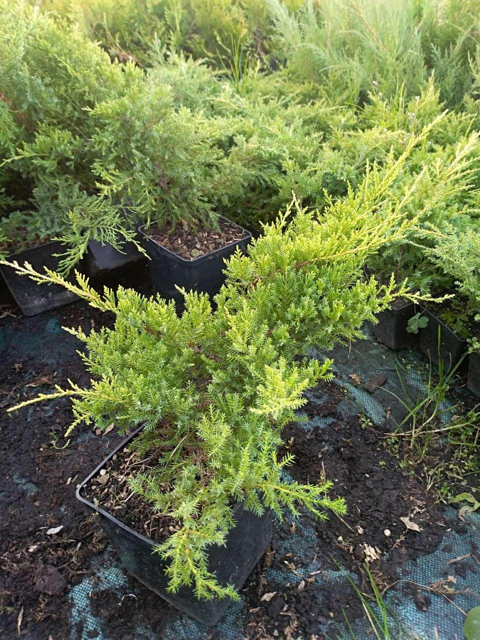 Можжевельник средний, Juniperus media 'Gold Star', 40 см.