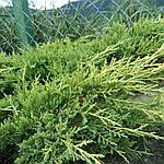 Можжевельник средний, Juniperus media 'Gold Star', 40 см., фото 3