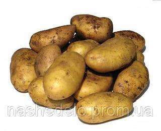 Семенной картофель Минерва 3 кг.1 репродукция
