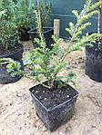 Тис ягодный, Taxus baccata 'Elegantissima', 30 см, фото 3