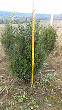 Самшит вечнозеленый, Buxus sempervirens, 40 см