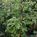 Клен серый, Acer griseum, 160 см, фото 5