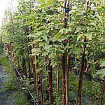 Клен серый, Acer griseum, 160 см, фото 4