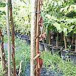 Клен серый, Acer griseum, 160 см, фото 3