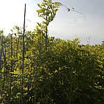 Глициния обильноцветущая, Wisteria floribunda, 90 см, фото 2