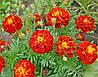 Чернобривцы цветки 50г