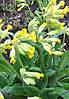 Первоцвет весенний (примула ),трава 50г