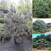 "Сосна обыкновенная (Pinus sylvestris) ""Watereri"" / Н130х120"