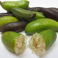 Лайм Папуана (Microcitrus Papuana) до 20 см. Комнатный