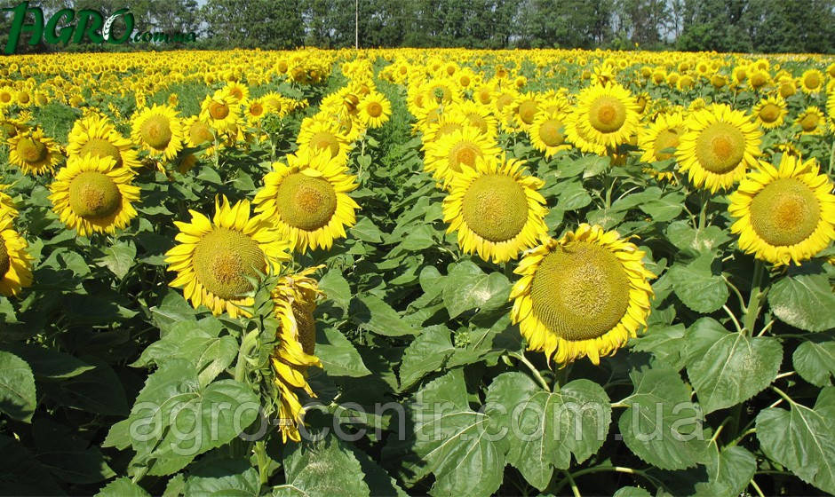 Семена подсолнечника ЛГ5542 КЛ