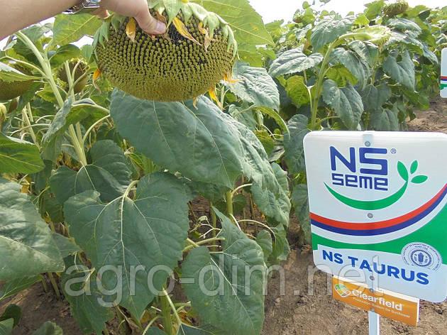 Семена подсолнечника НС Таурус (ЮГ Агролидер) Стандарт, фото 2