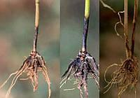 Корневые гнили на пшенице. Как уберечь посевы?