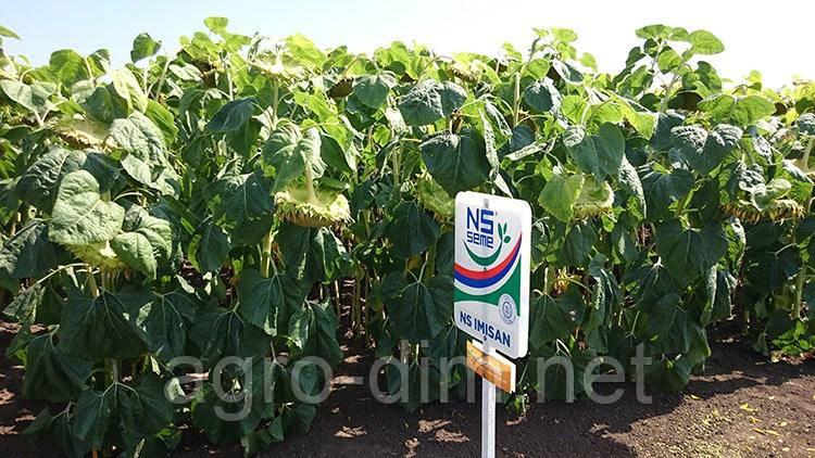 Семена подсолнечника НС Имисан (ЮГ Агролидер) Стандарт