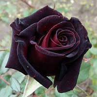 """Саженцы роз """"Блек Баккара"""" (""""Блэк Баккара"""")"""