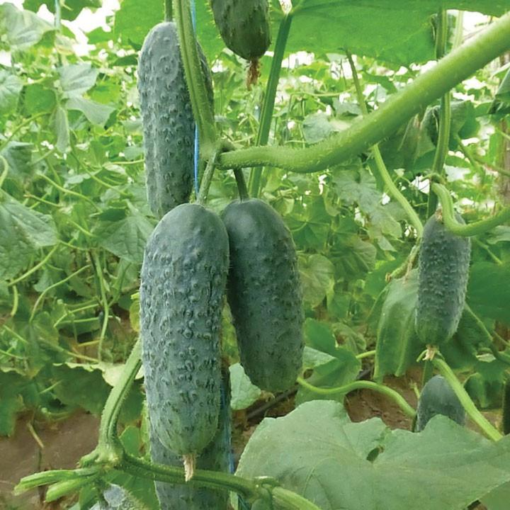 Семена огурца Нибори (KS 90) F1 (250 сем.) Kitano