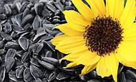 Семена подсолнечника КС-104, 110-120 дней