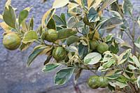 Каламондин (цитрофортунелла) Вариегатный
