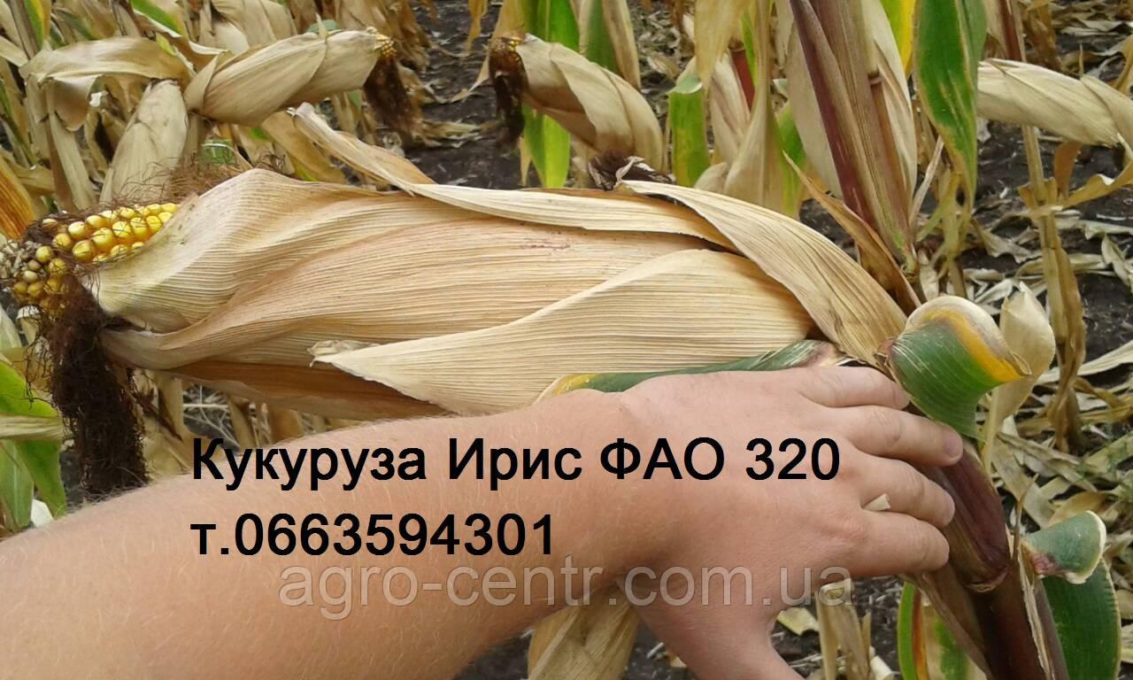 Семена кукурузы Ирис ФАО 320 (Франция)
