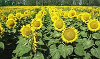 Семена подсолнуха Гастон(под Гранстар)
