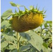 Семена подсолнуха Агат (устойчивый к заразихе)