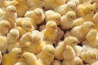 Цыплята бройлеры суточные