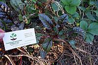 Мангольд семена 10шт (листовая свекла, римская капуста, свекольник) насіння листковий буряк