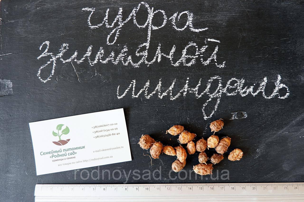 Чуфа семена (земляной орех миндаль, сыть, тигровый орех, зимовник) (10шт)  горіх мигдаль насіння + инструкция