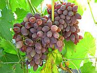 Виноград сорт Кинельський Ранний
