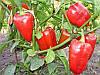 Богатырь семена перца сладкого  Semenaoptom 1 000 г