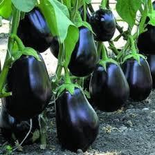 Семена Баклажана Клоринда F1 (Clorinda F1) 10 семян Seminis