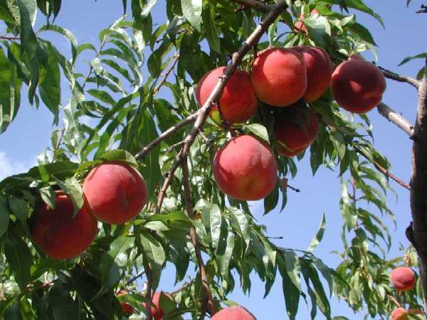 Персик сорт Рубиновый Принц
