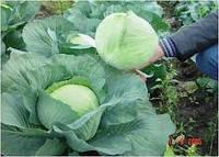 Семена Капуста белокочанная Агресор F1 20 семян. Syngenta, Хранение до 7 месяцев.