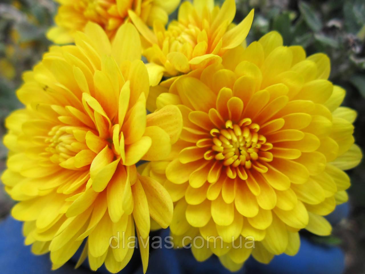 Хризантема мультифлора ярко желтая
