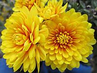 Хризантема мультифлора ярко желтая , фото 1