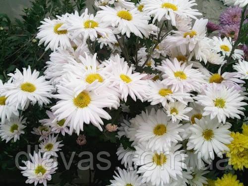Хризантема корейская Ромашка крупная