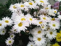 Хризантема корейская Ромашка крупная, фото 1
