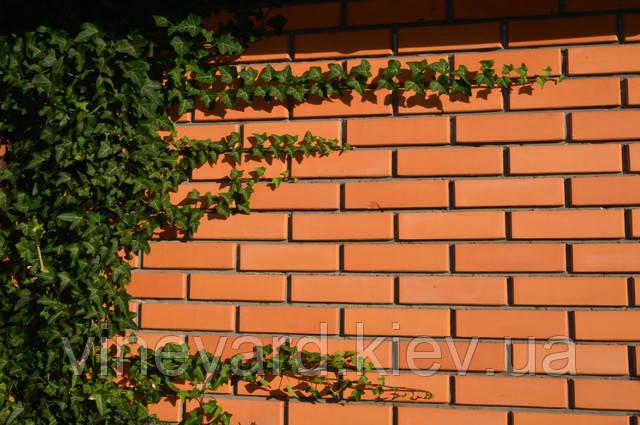 Самый красивый плющ, ползучее растение, почвопокровное, вечнозеленый, аристократический двор, английский двор, гедера, резные листья