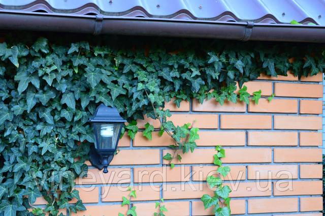 гедера вечнозеленая декоративная лиана, вьющееся растение, зимует в Киеве, ажурная листва, дизайн интерьера и ландшафта, купить рассаду, заказать озеленение, зеленые стены, для забора, сетки рабицы, летнего кафе, оформление фотозоны, свадьбы, сцены, зала, террасы, балкон, двор,  изгородь, фото сессия, студия, посадить, вырастить