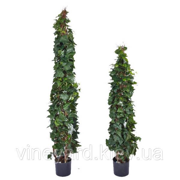 зеленый столб, растение в кадке, горшке, ампельное, вечнозеленое, плетется, быстро растет, пестрый, разновидности, сорта, заказать для свадьбы, праздника