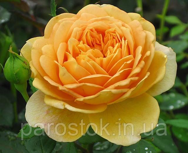 Английская роза Кроун Принцесса Маргарет