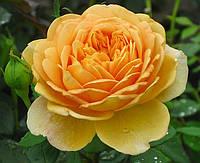 Английская роза Кроун Принцесса Маргарет, фото 1