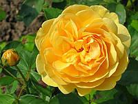 Роза Голден Селебрейшин. (вс). Английская роза.