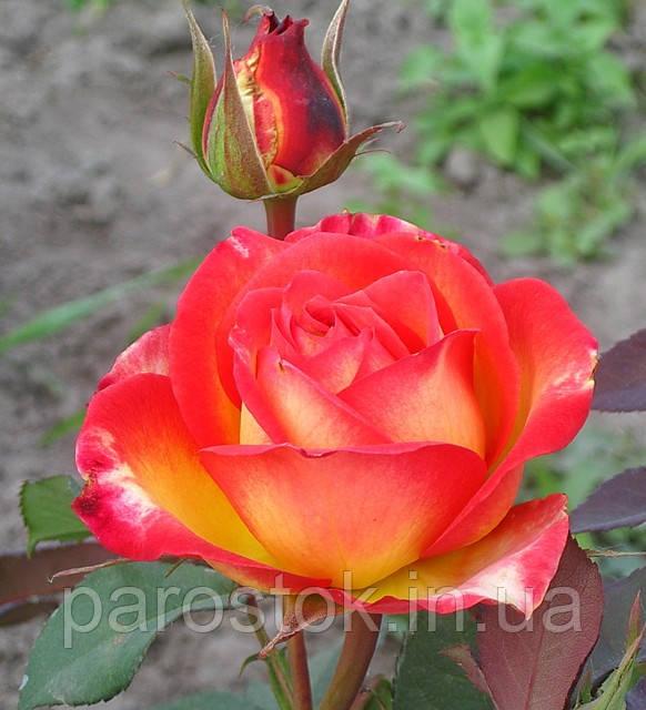 Роза Утопия. Чайно-гибридная роза.