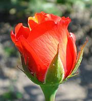 Роза Корвет. Чайно-гибридная роза.