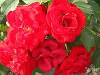 Роза Райнаупарк. Парковая роза. , фото 1