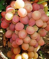 Ливия, саженцы столового винограда из питомника