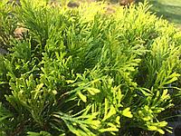 Туя западная Голден Смарагд (Thuja Golden Smaragd) 10 см