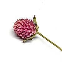 Сухоцвет Escudo натуральный розовый