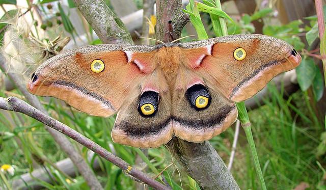 Antheraea polyphemus f